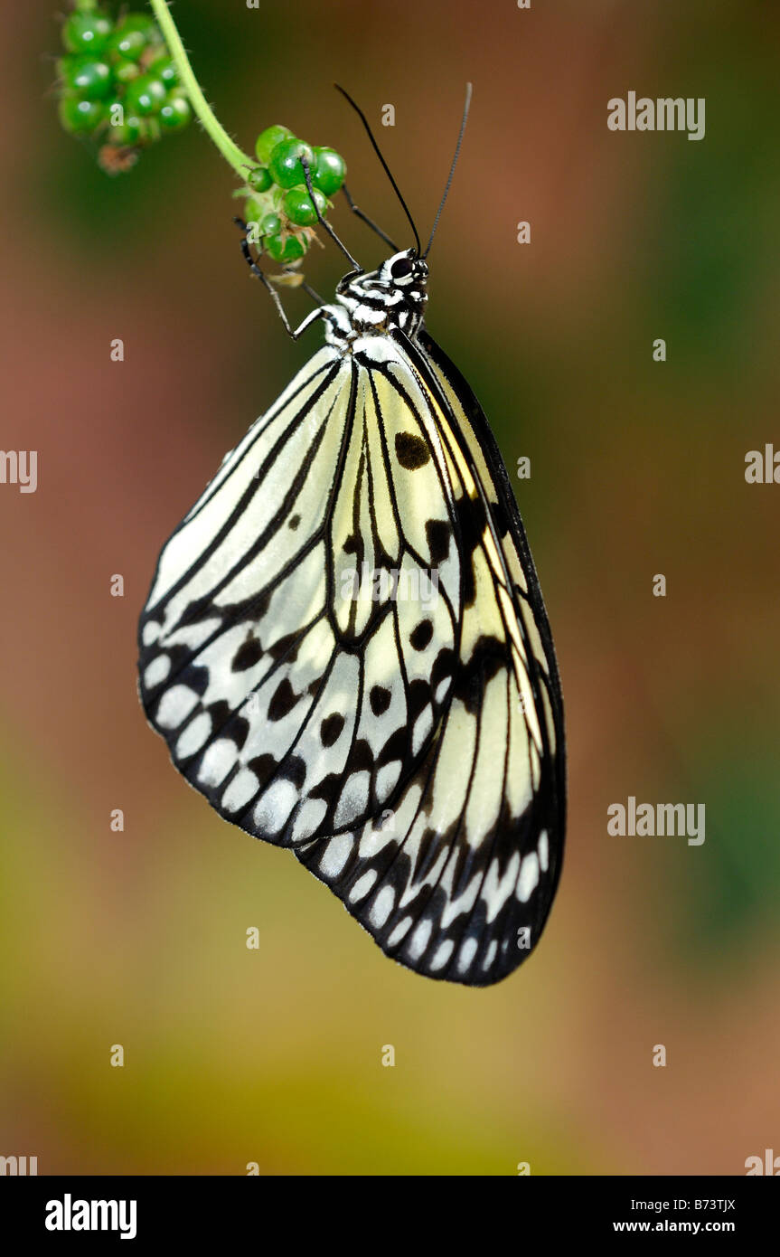 White Tree Nymph, Paper Kite, Rice Paper butterfly, Idea leuconoe, tropical butterfly - Stock Image