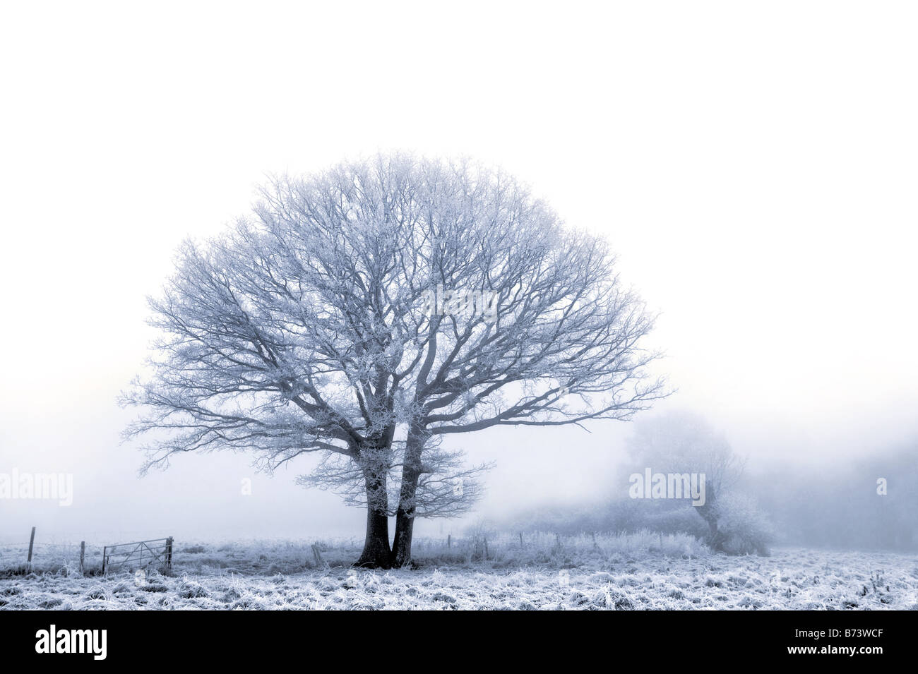 An old oak tree covered in a hoare frost on a cold foggy winters day - Stock Image