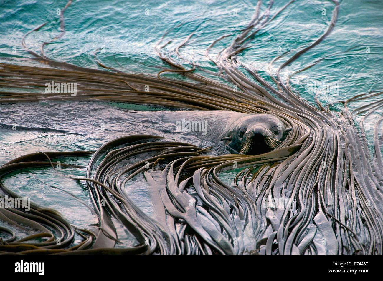 New Zealand, South Island, Dunedin, Otago Peninsula, Australasian Fur Seal (Arctocephalus fosteri). - Stock Image