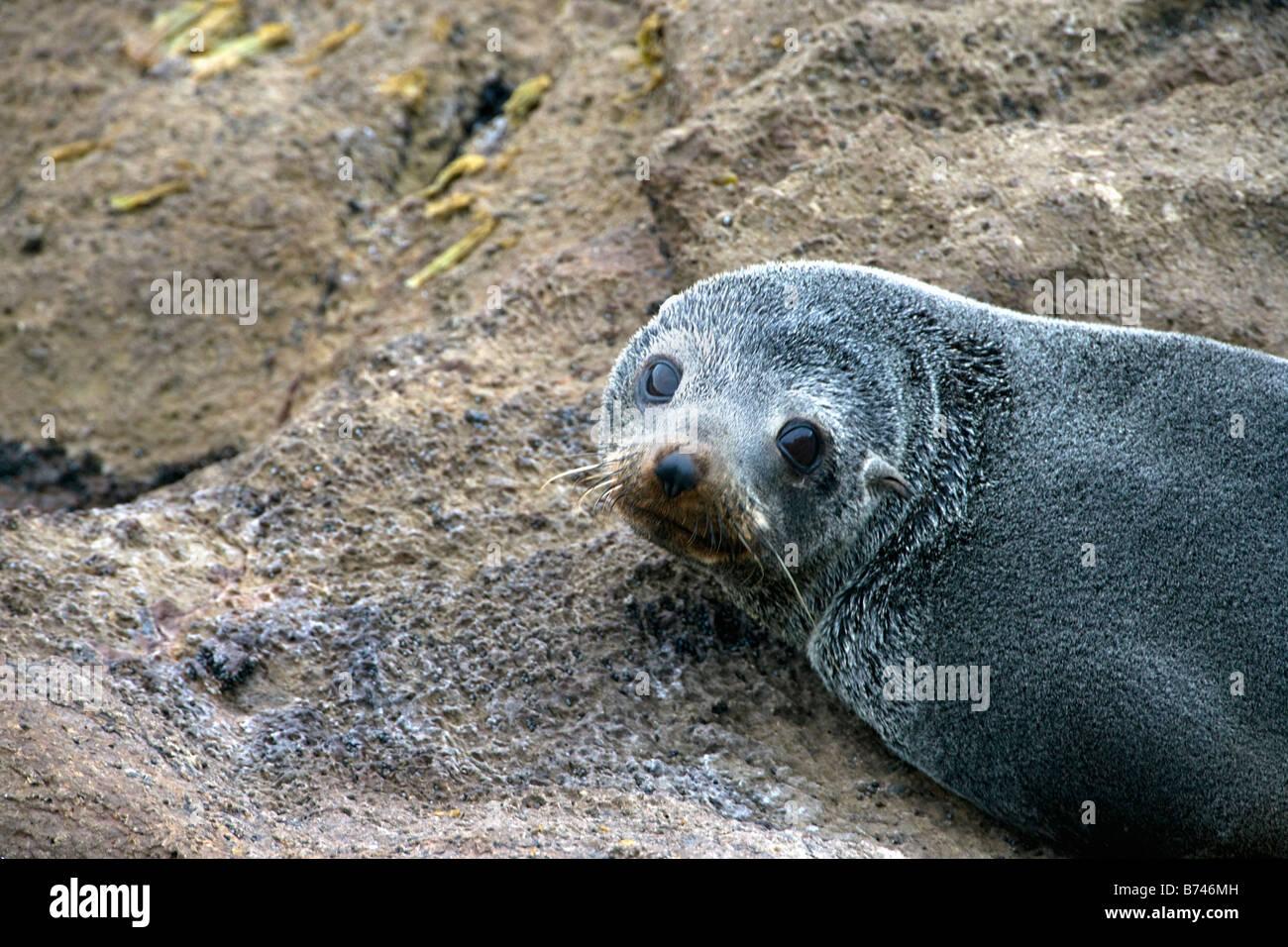New Zealand, South Island, Dunedin, Otago Peninsula, Australasian Fur Seal (Arctocephalus fosteri), or Southern - Stock Image