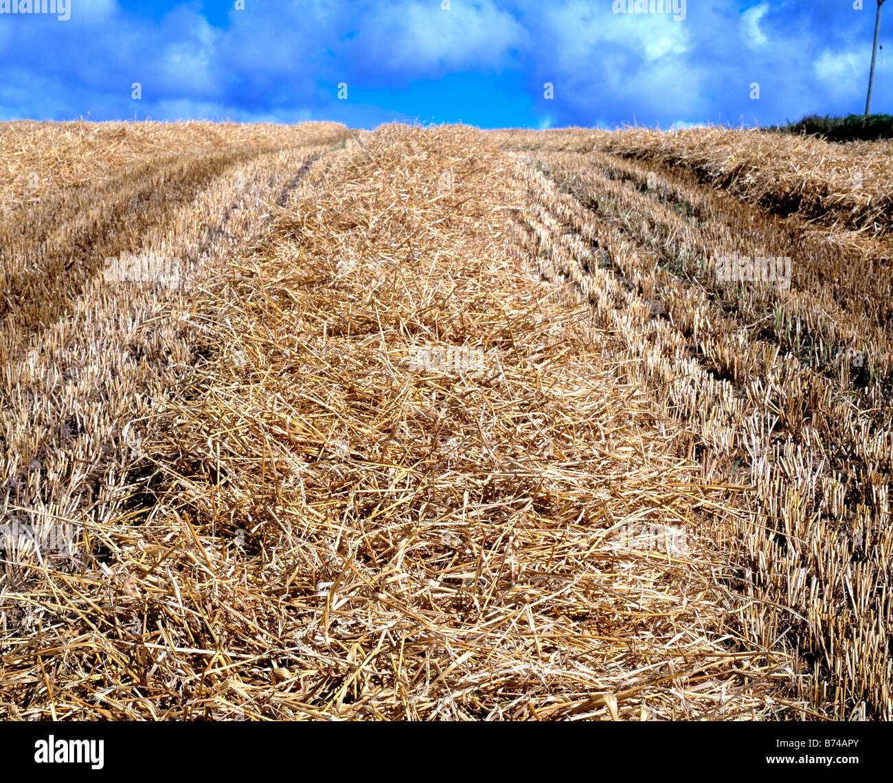 field of stubbled corn after harvest, - Stock Image