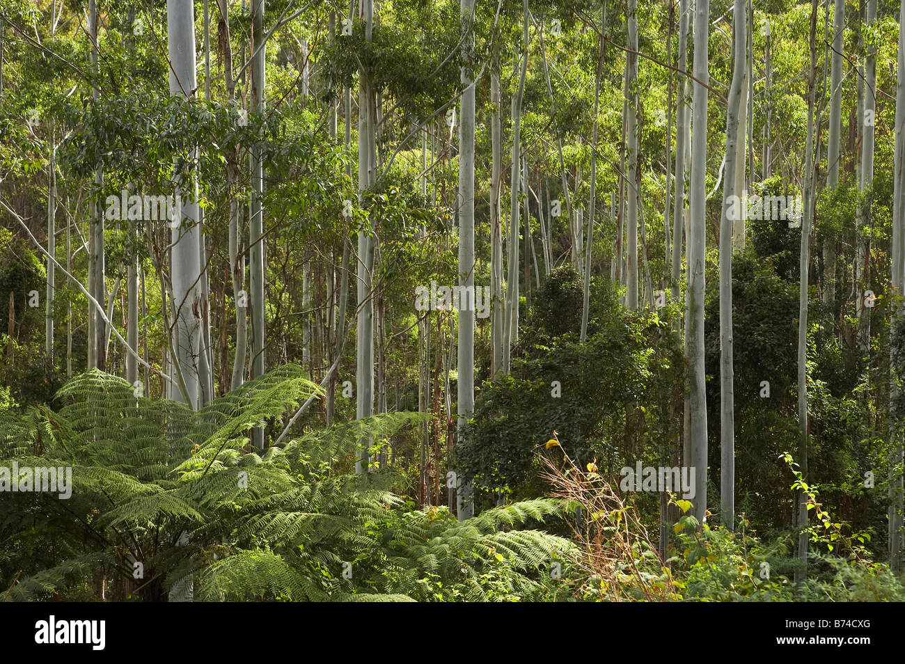 Eucalyptus Trees Colling Road near Boorganna New South Wales Australia - Stock Image