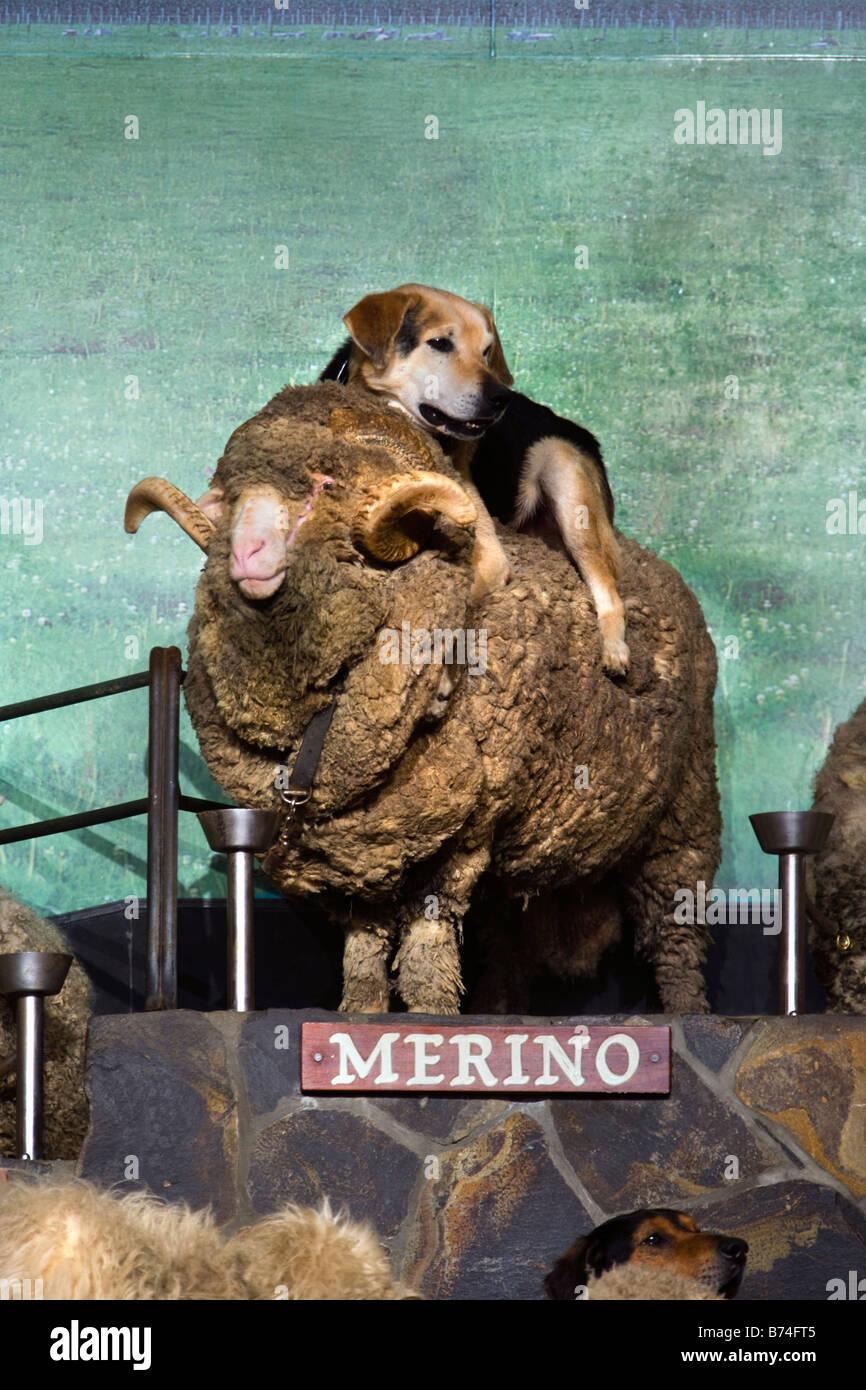 New Zealand, North Island, Rotorua, Sheep show at the Agrodome. Merino sheep. - Stock Image