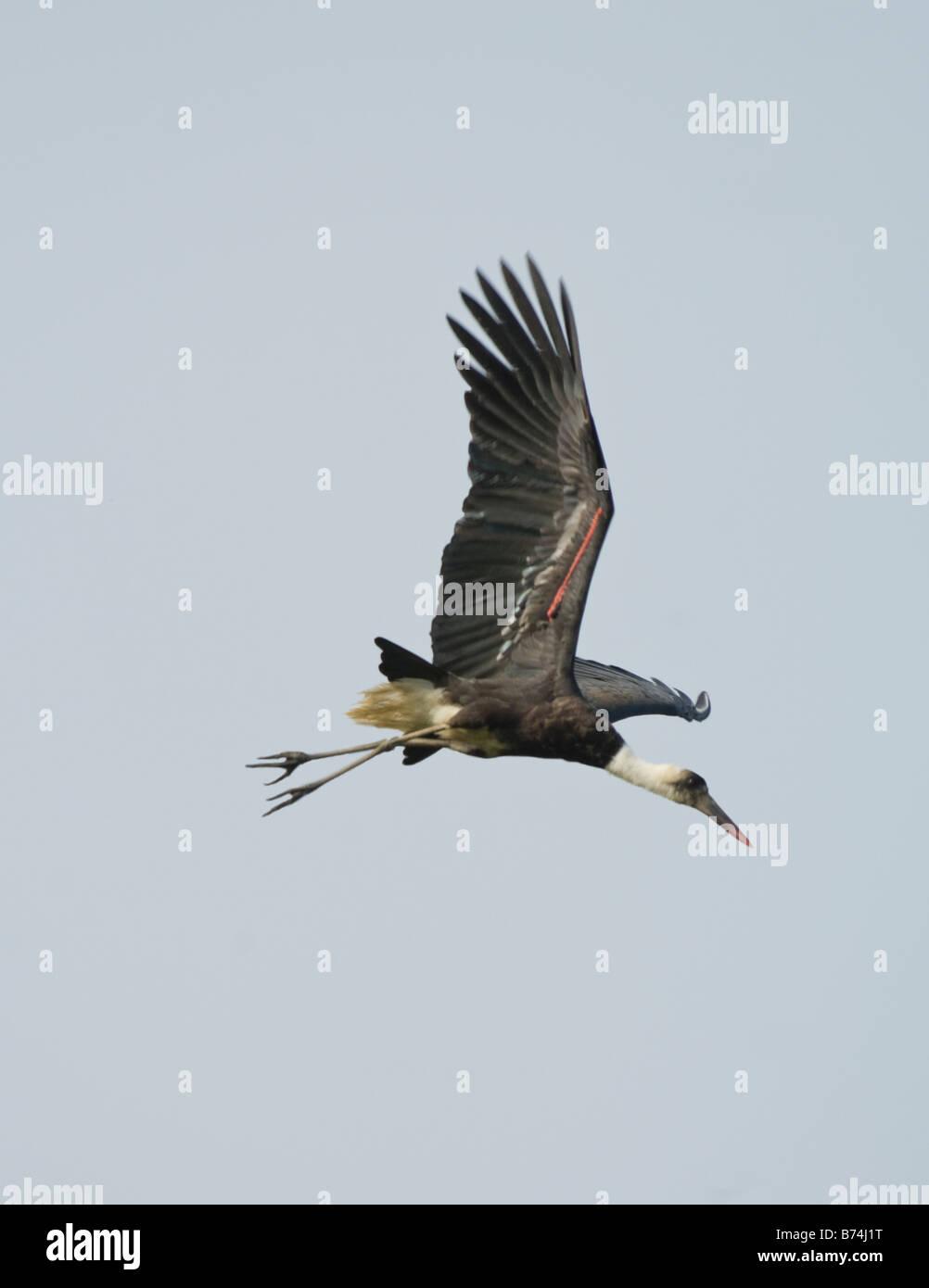 Woolly Necked Stork Ciconia episcopus WILD Stock Photo