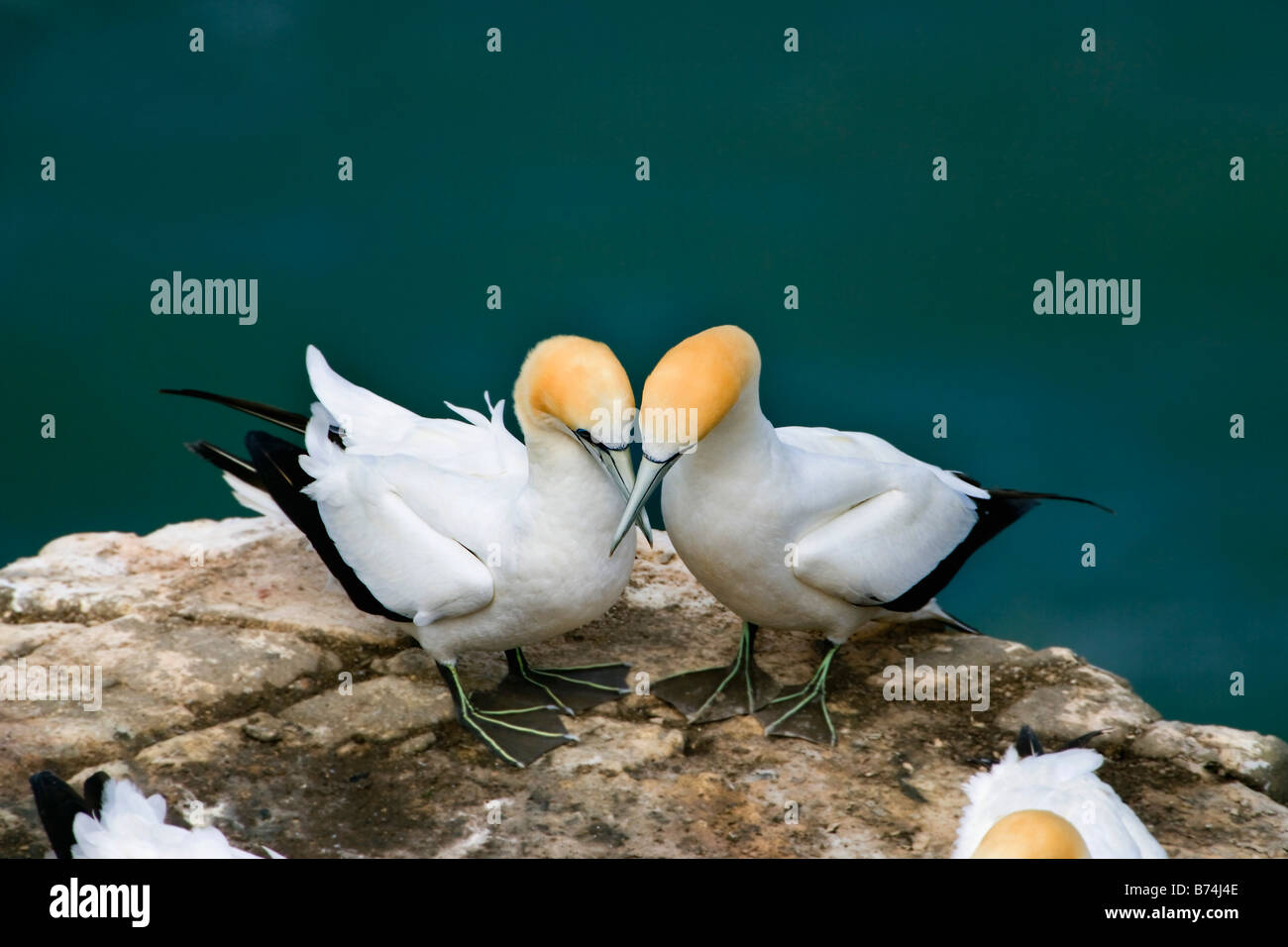 New Zealand, North Island, Murawai Gannet Colony, Australasian gannet ( Morus Serrator ). - Stock Image