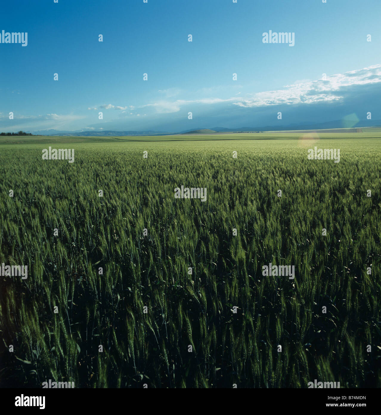 Bearded wheat crop in unripe green ear lit by late afternoon sunshine near Three Forks Montana USA - Stock Image