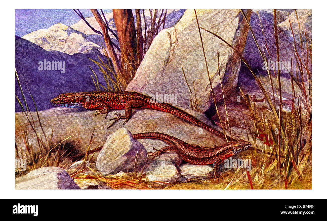 Illustration of the Blue-throated Keeled Lizard Stock Photo