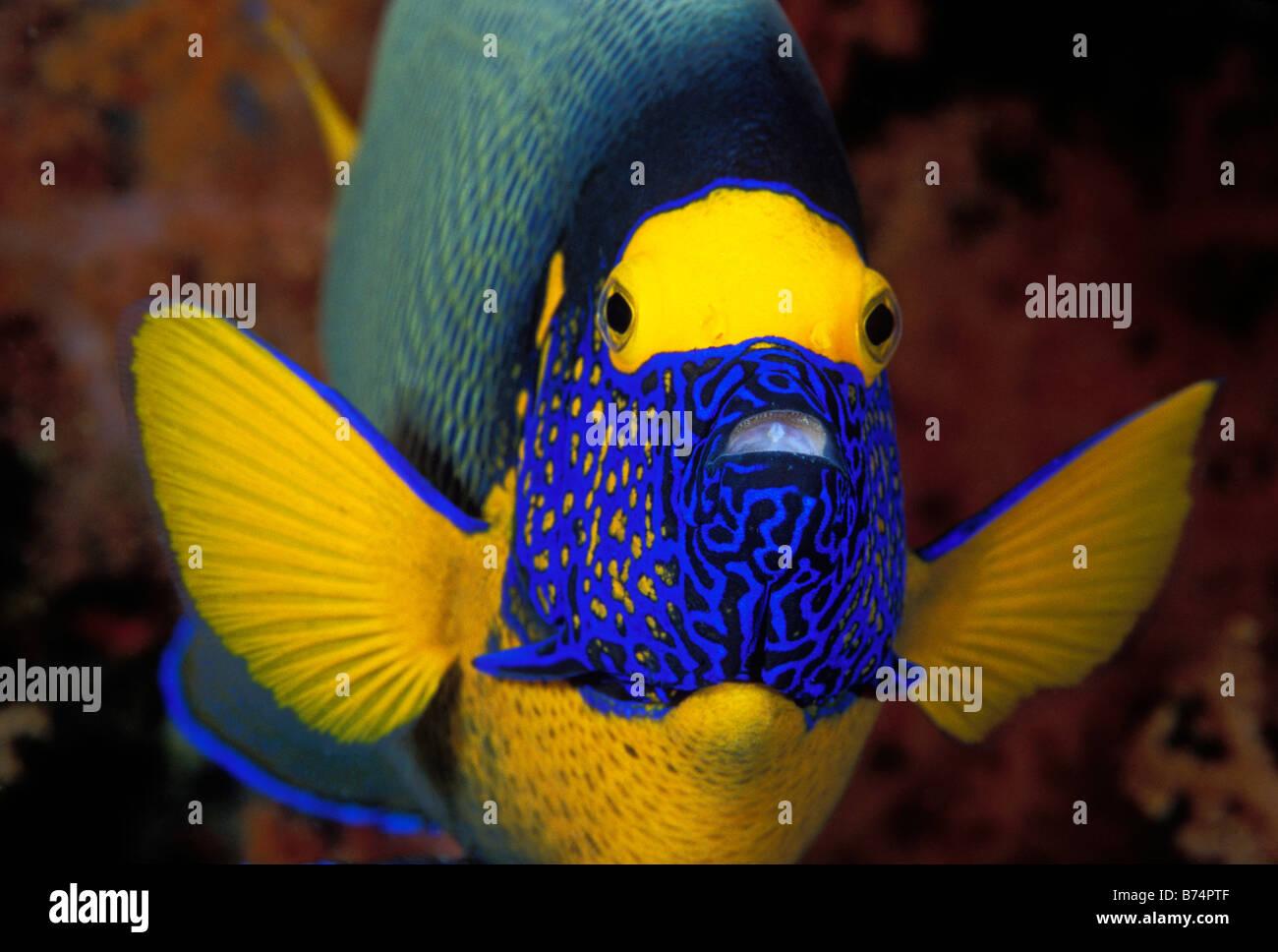 Blue face angelfish, Pomacanthus xanthometopon, Sulawesi, Indonesia. - Stock Image