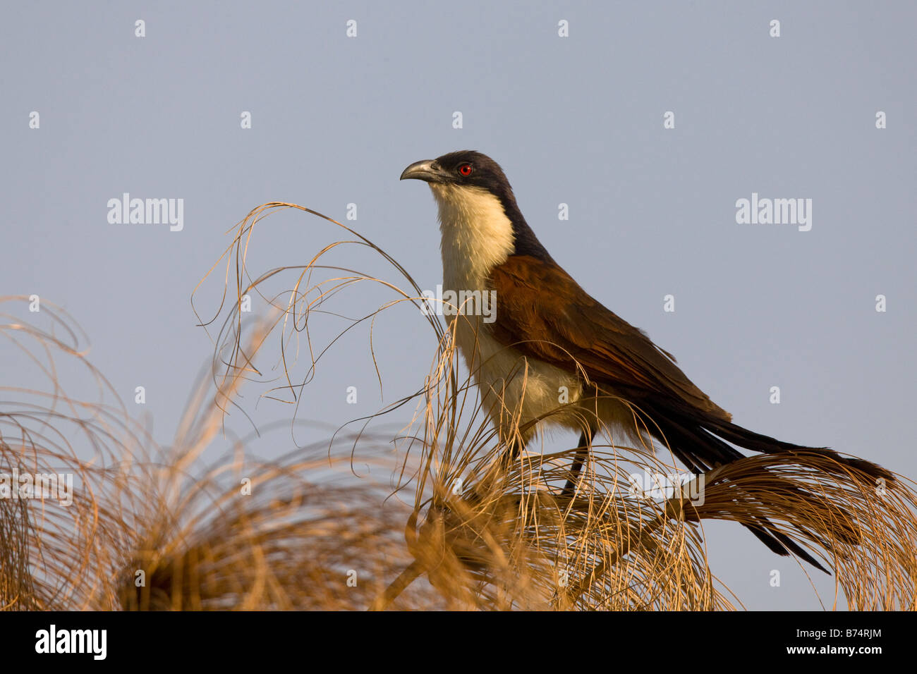 Coppery-tailed Coucal Perching on Papyrus in the Okavango Panhandle, Botswana - Stock Image