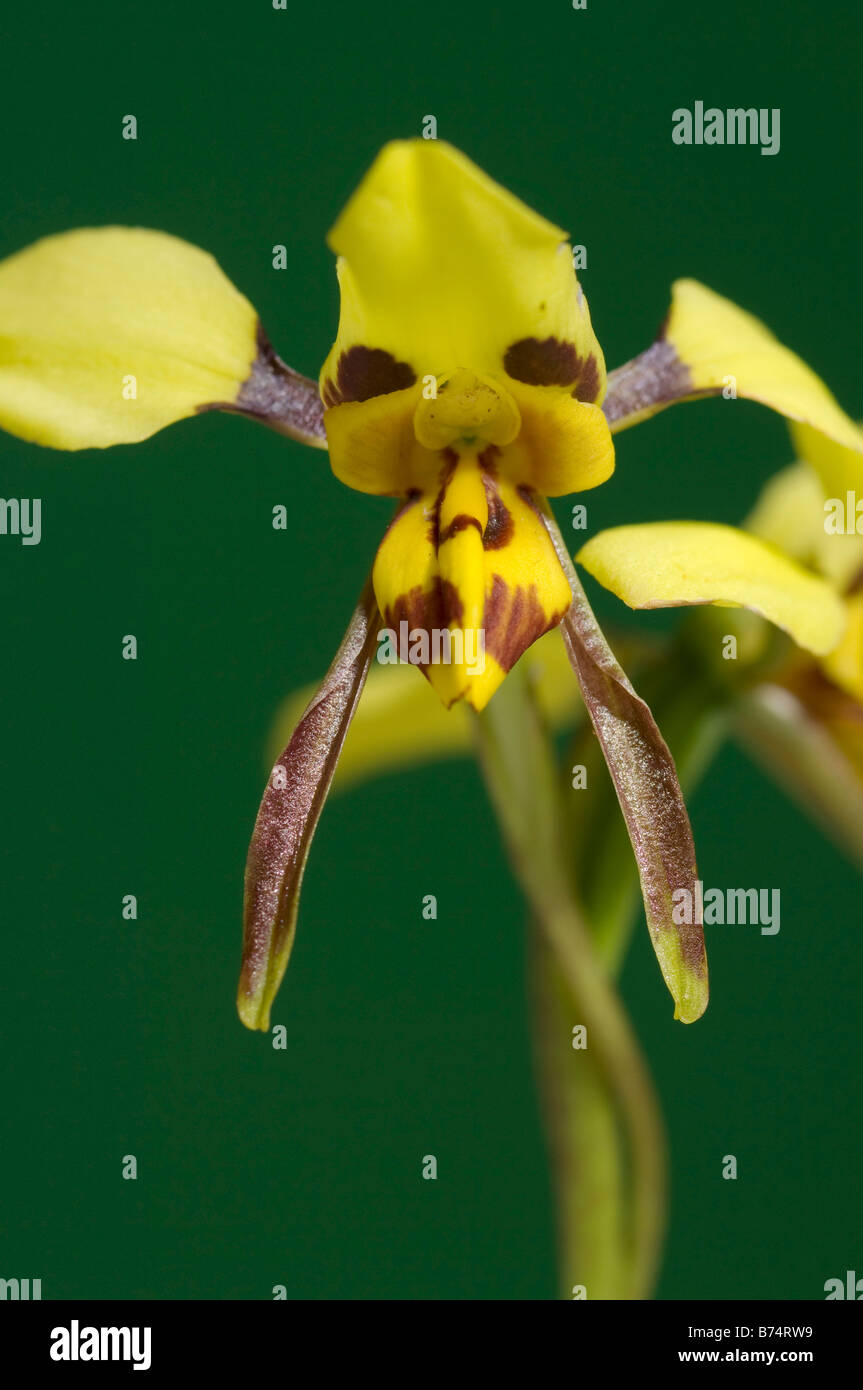 Australia tiger orchid flower - Stock Image