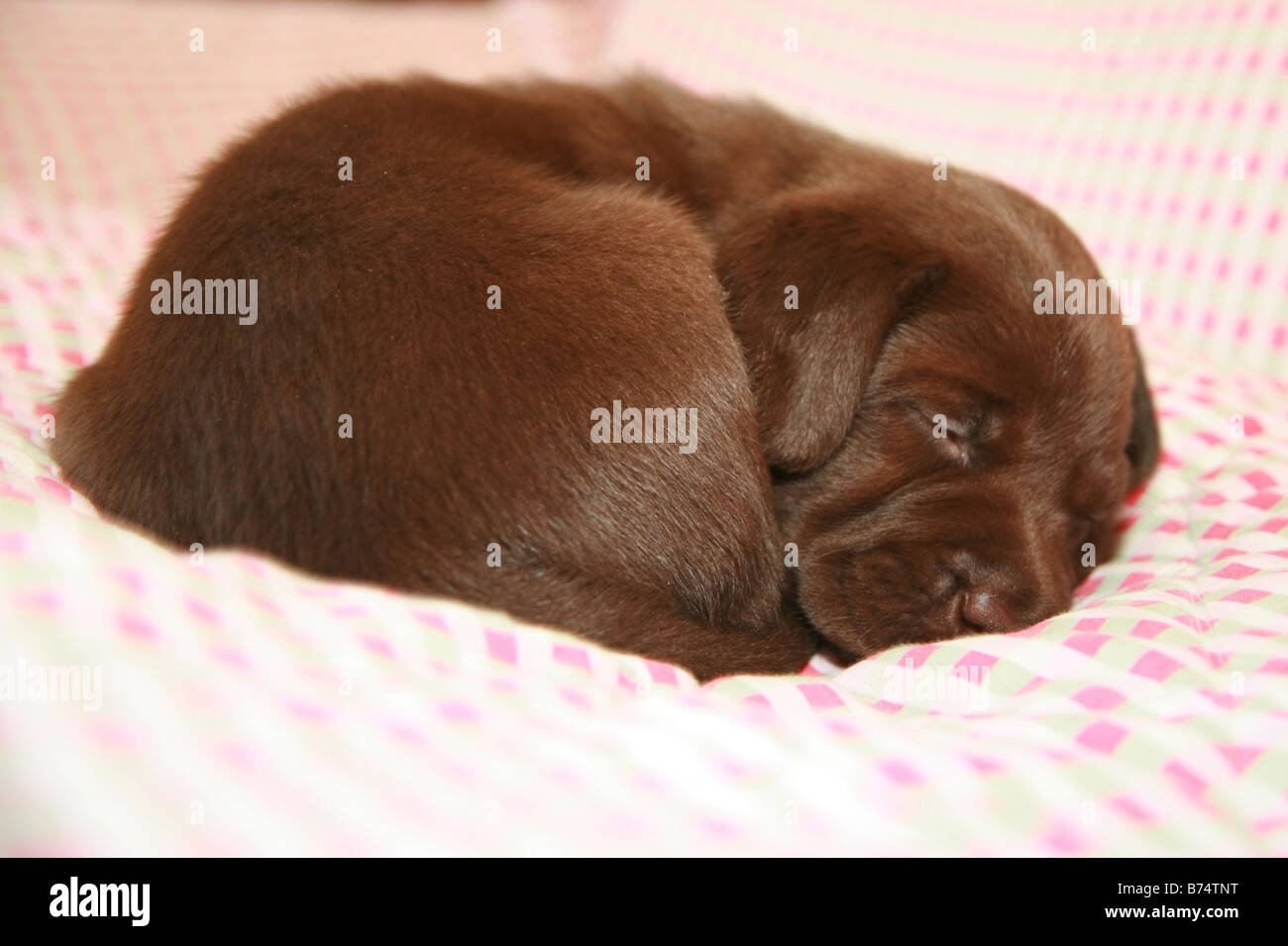 Chocolate Labrador puppy sleeping - Stock Image
