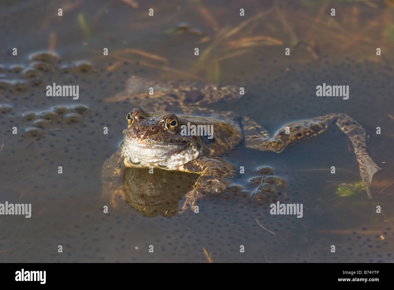 Common Frogs, Rana temporaria with eggs - Stock Image