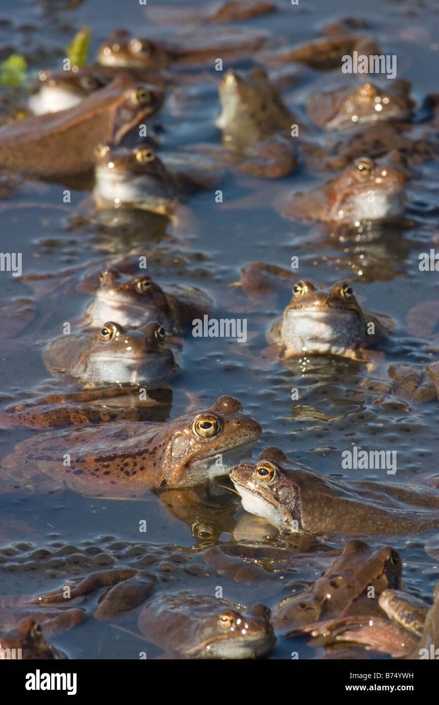 Common Frogs, Rana temporaria group mating - Stock Image
