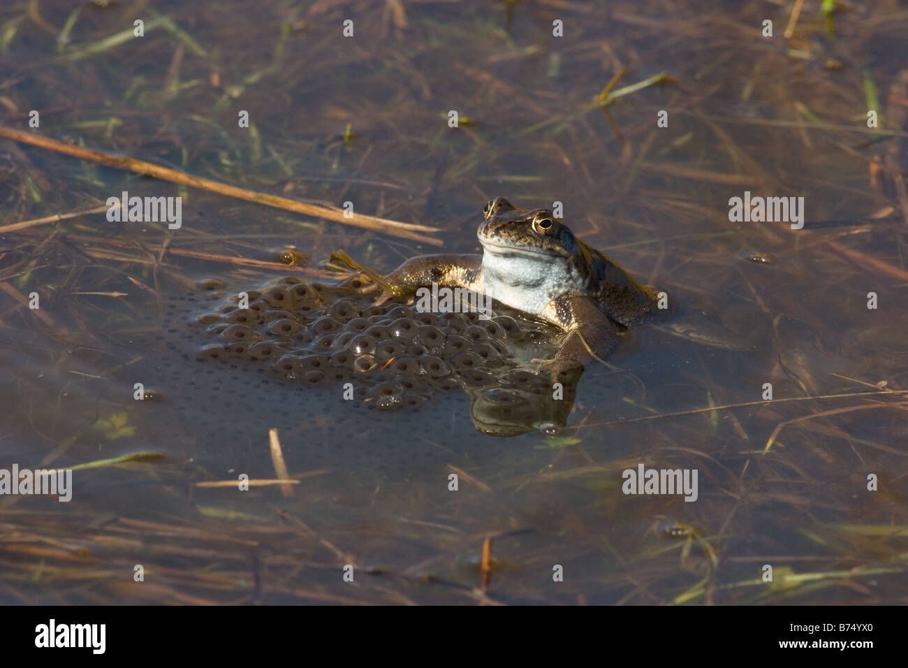 Common Frog, Rana temporaria adult with eggs - Stock Image