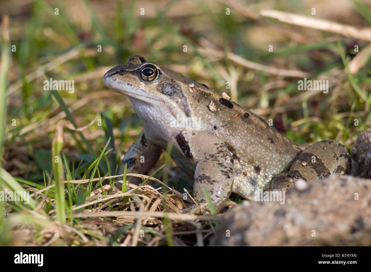 Common Frog, Rana temporaria in grass - Stock Image
