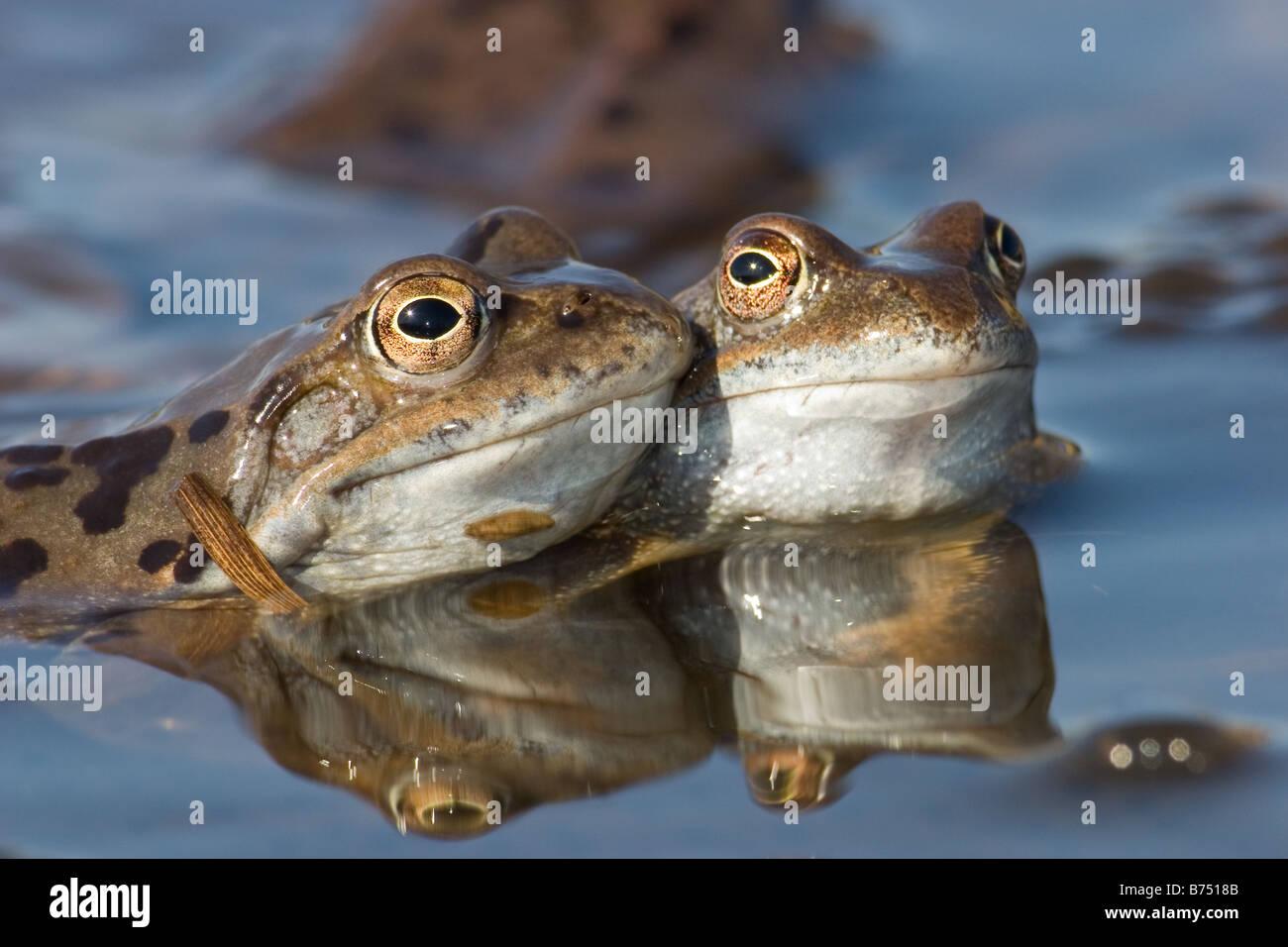 Common Frogs, Rana temporaria pair enjoying matings - Stock Image