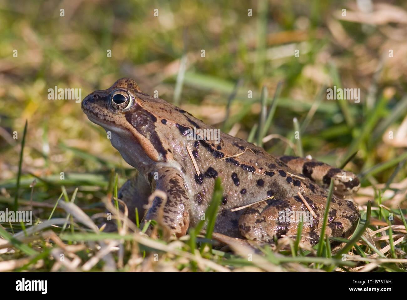 Common Frog, Rana temporaria - Stock Image