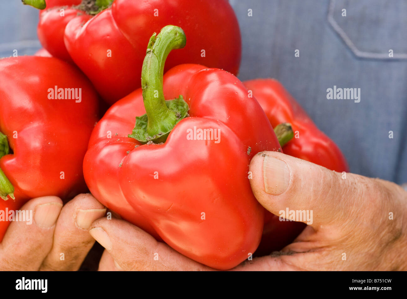 Human hands holding red bell peppers, close-up - Stock Image