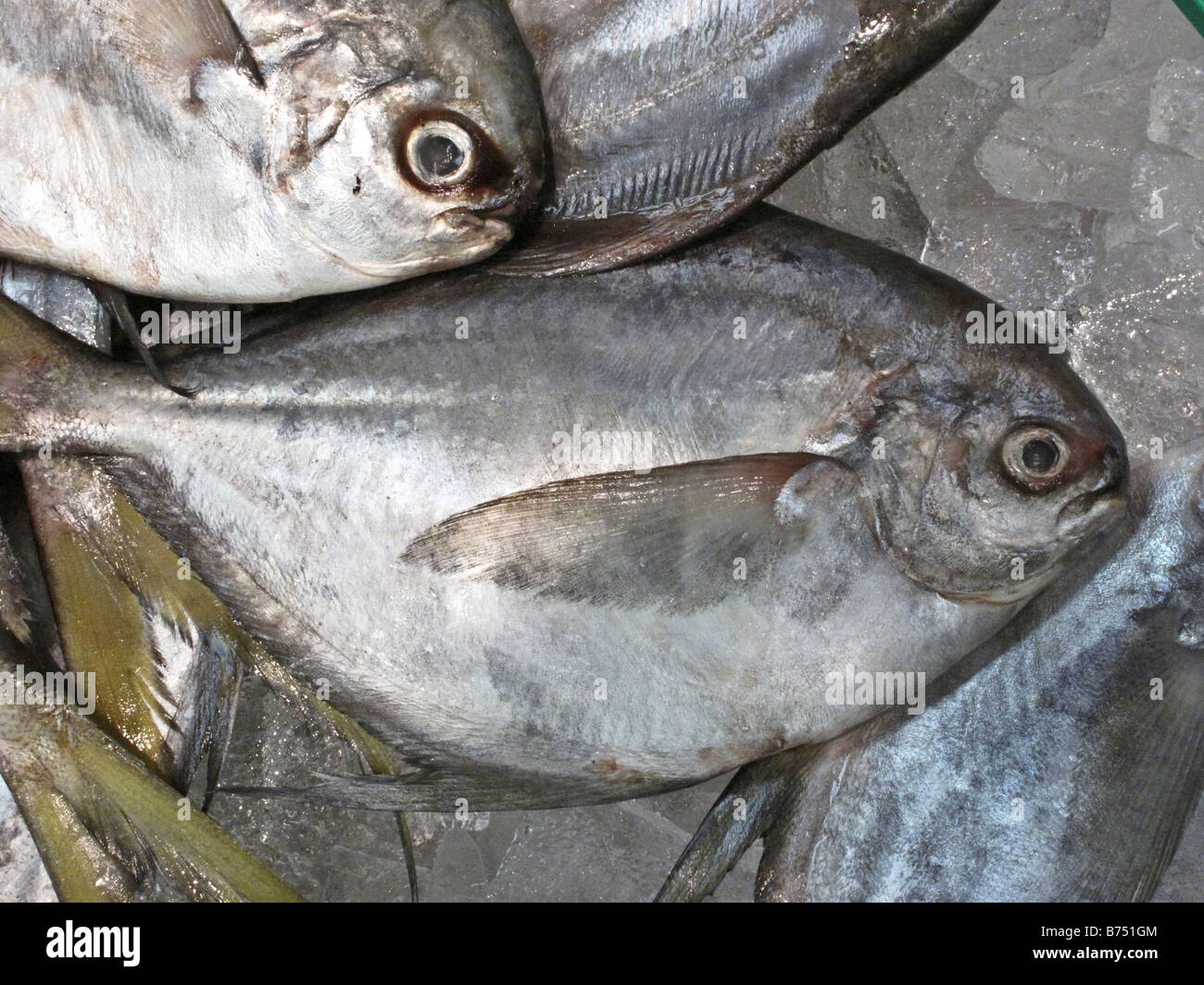 a group of Pompano fish on ice in a fishmarket display in Edmonds, WA, United States - Stock Image