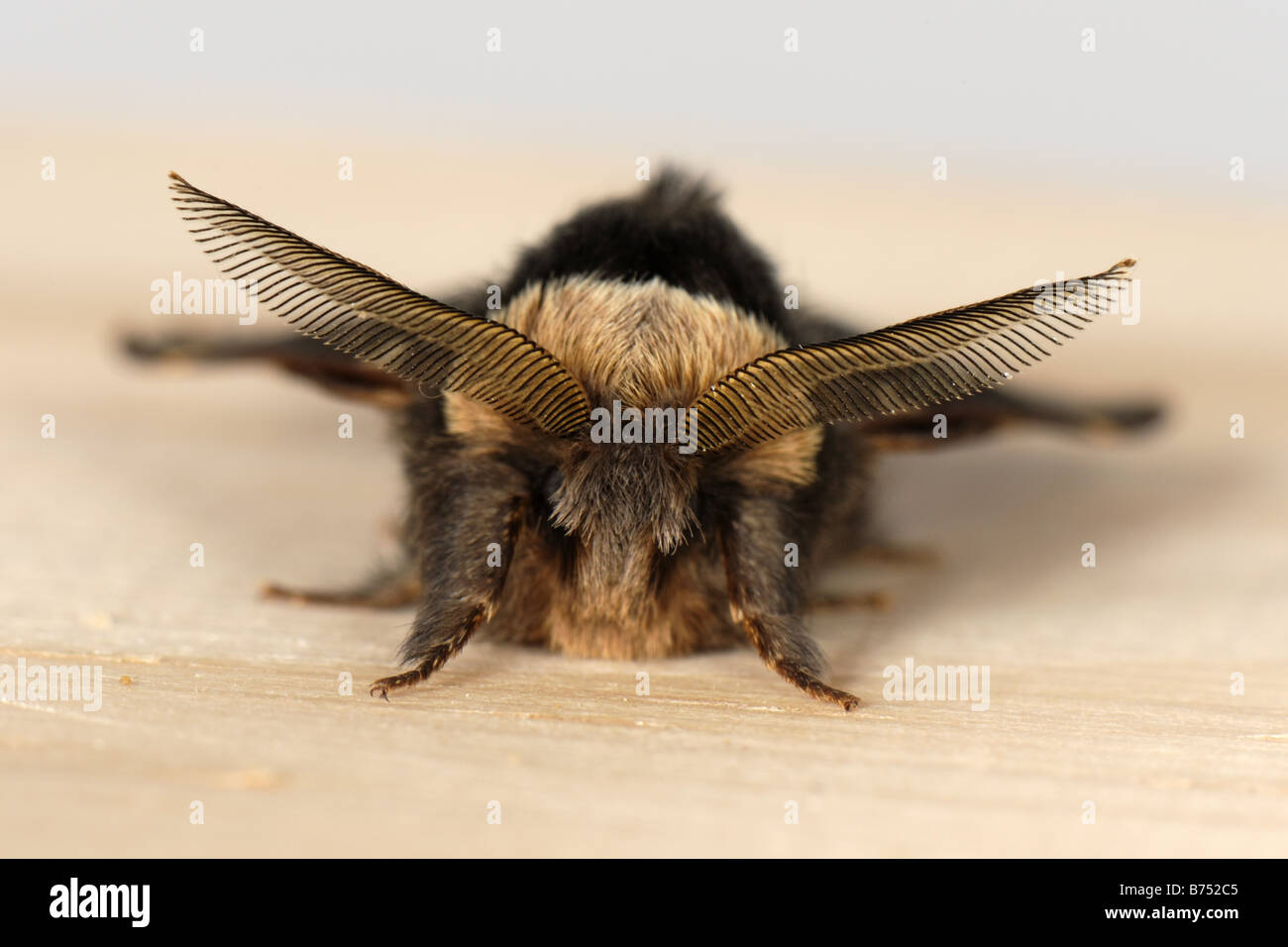 December moth Poecilocampa populi adult male showing antennae in mid winter - Stock Image