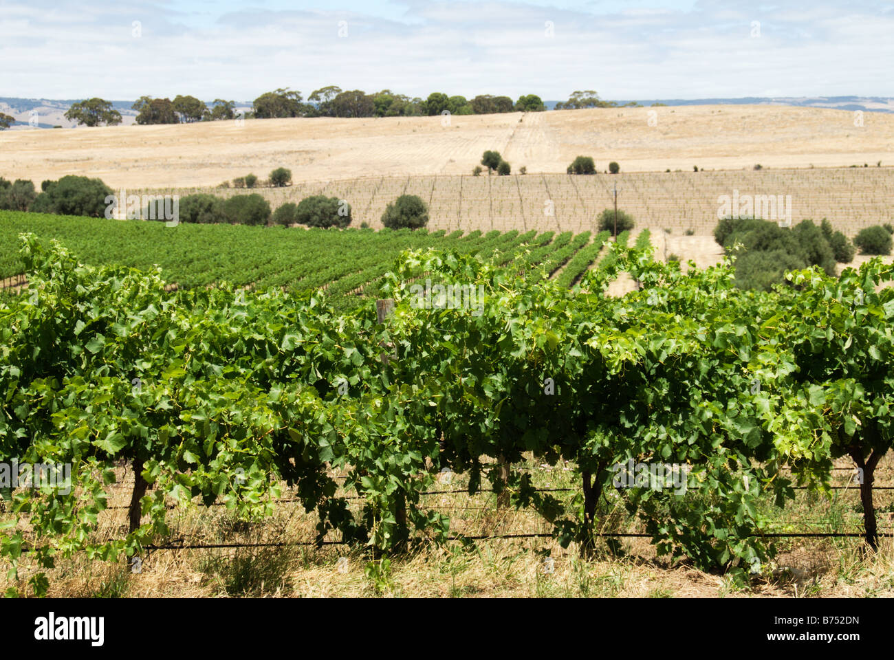 The view from the Coriole Winery in the McLaren Vale South Australia with rows of grapes in the foreground and paddocks Stock Photo