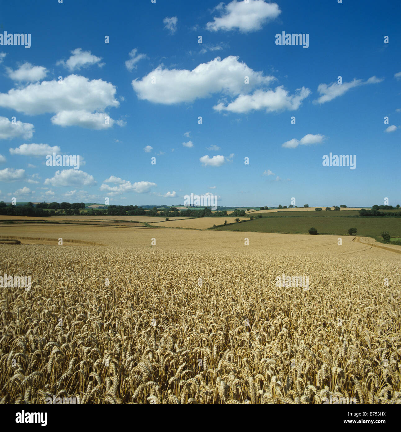 Excellent golden ripe wheat crop on a fine summer s day Devon - Stock Image