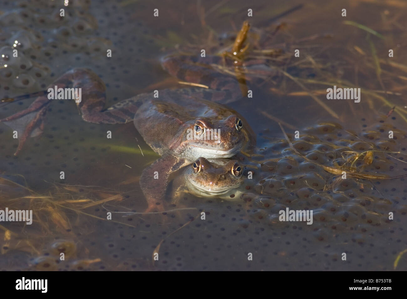 Common Frogs, Rana temporaria pair mating with eggs - Stock Image