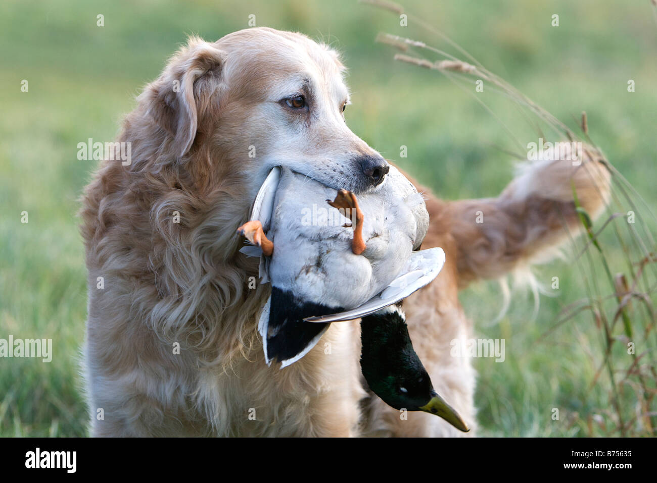 A Golden Retriever retrieves a duck during a game shoot - Stock Image