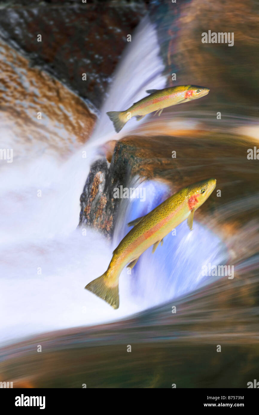 Migrating steelhead salmon leaping over falls, Nova Scotia - Stock Image