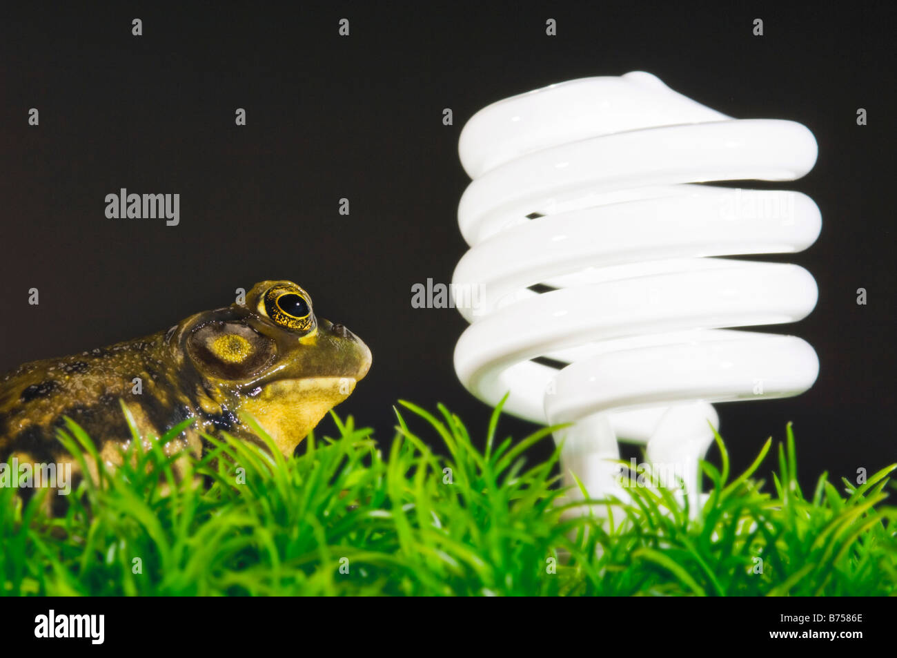 Energy-saving light bulb inspected by green frog, Halifax, Canada - Stock Image