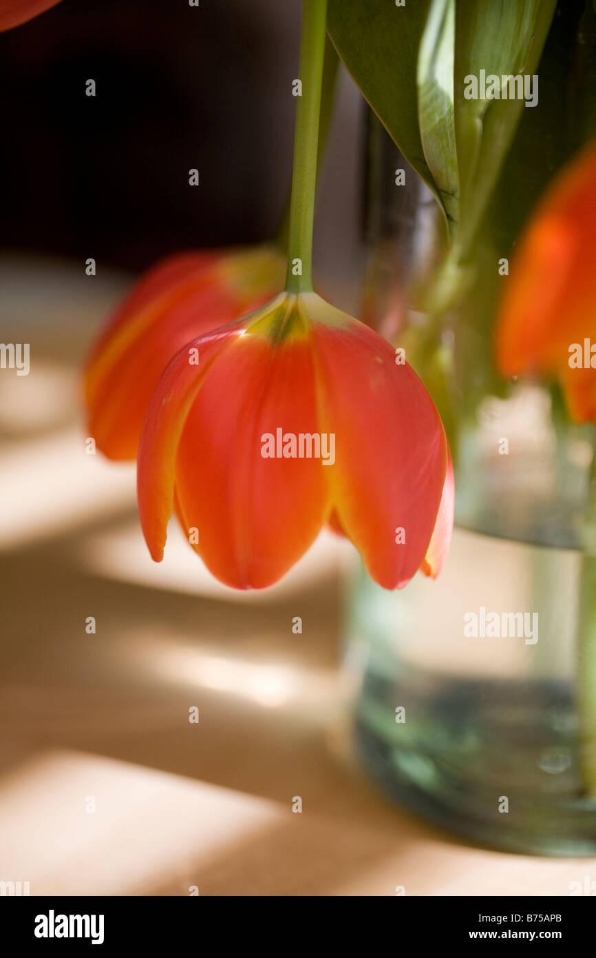 Tulip droops over side of glass vase - Stock Image