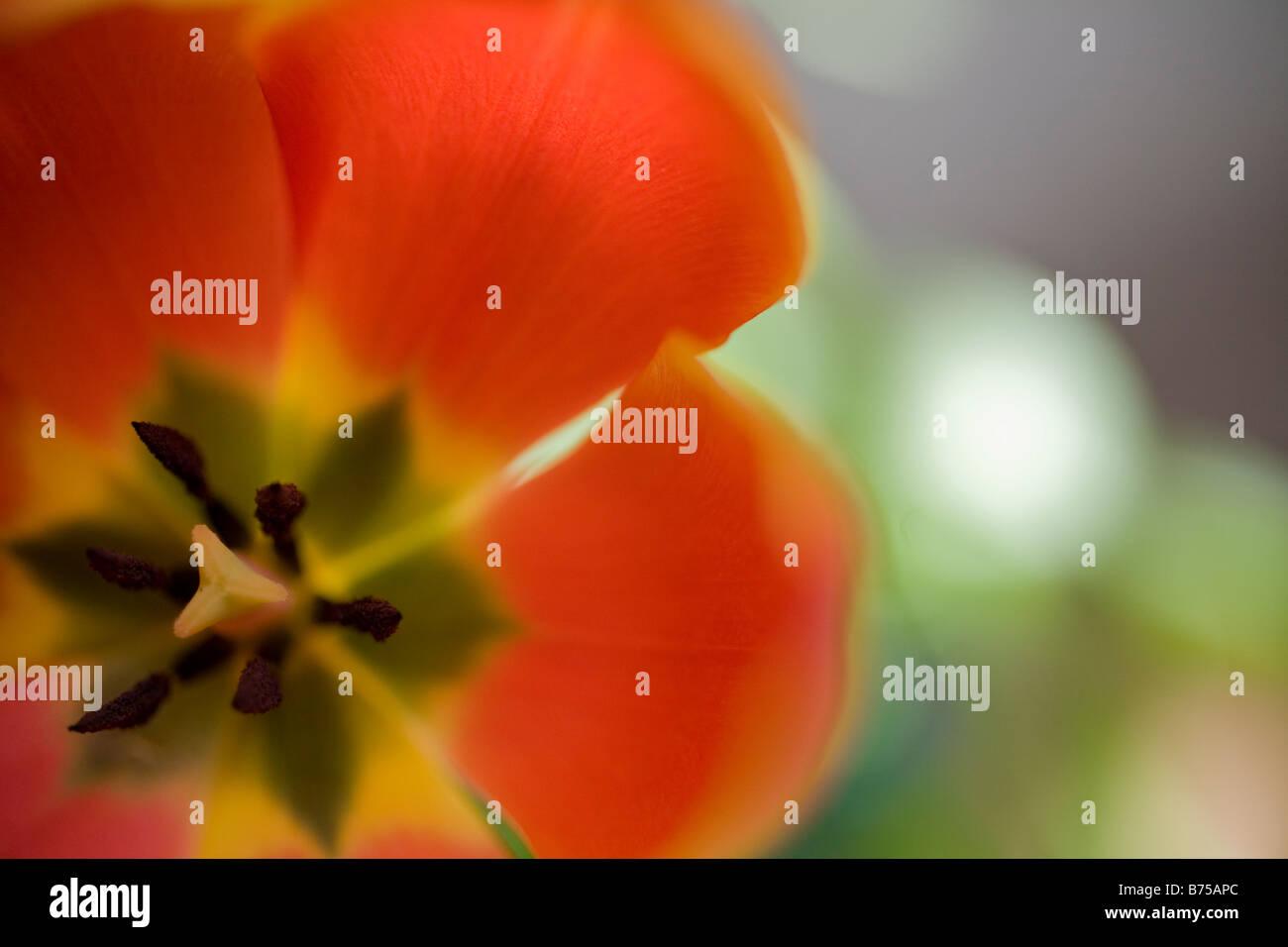 Close-up center of orange tulip - Stock Image