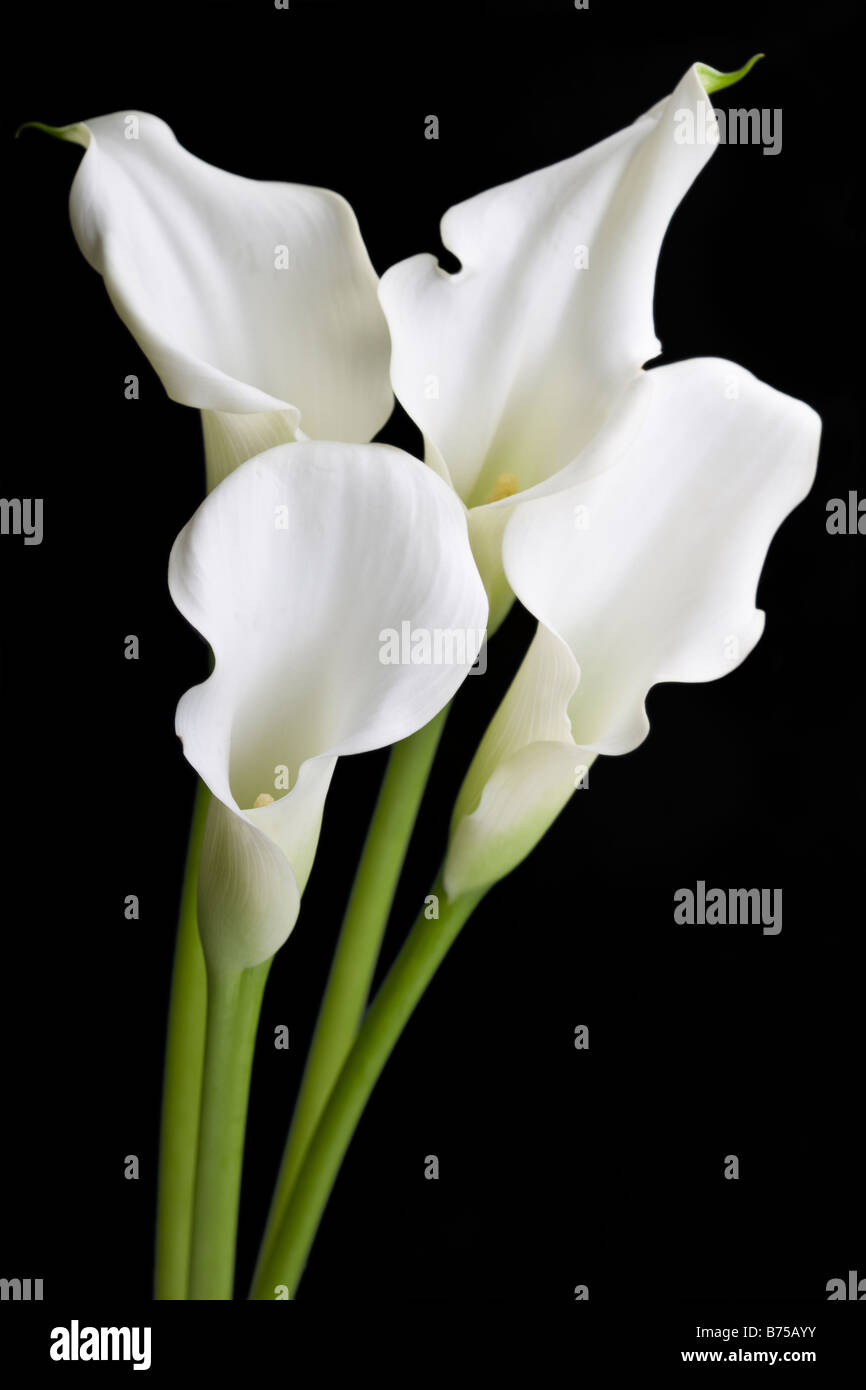 White calla lily flowers stock photo 21631343 alamy white calla lily flowers izmirmasajfo