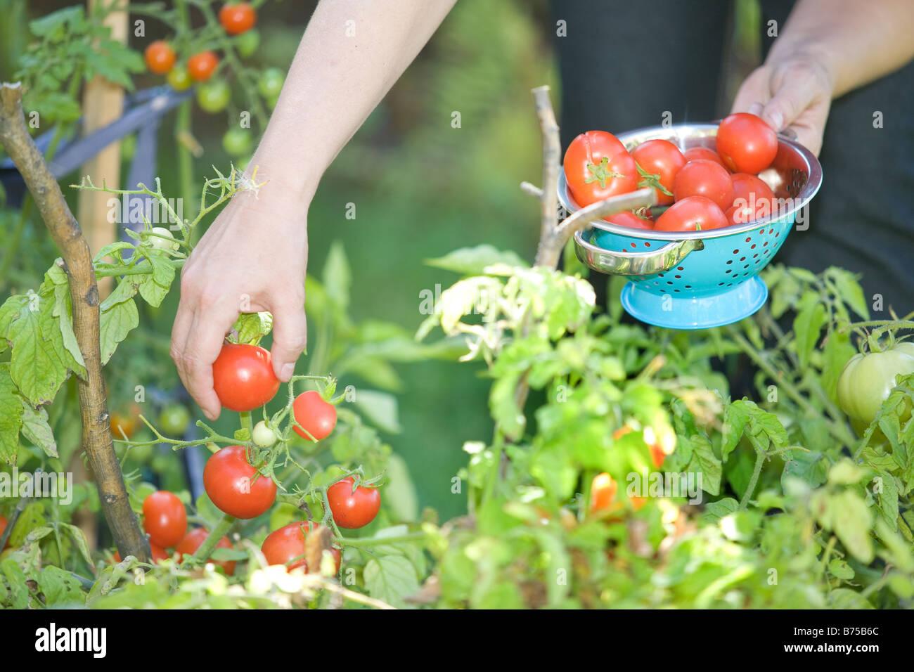 Fresh tomatoes being picked from backyard garden, Winnipeg, Manitoba, Canada - Stock Image