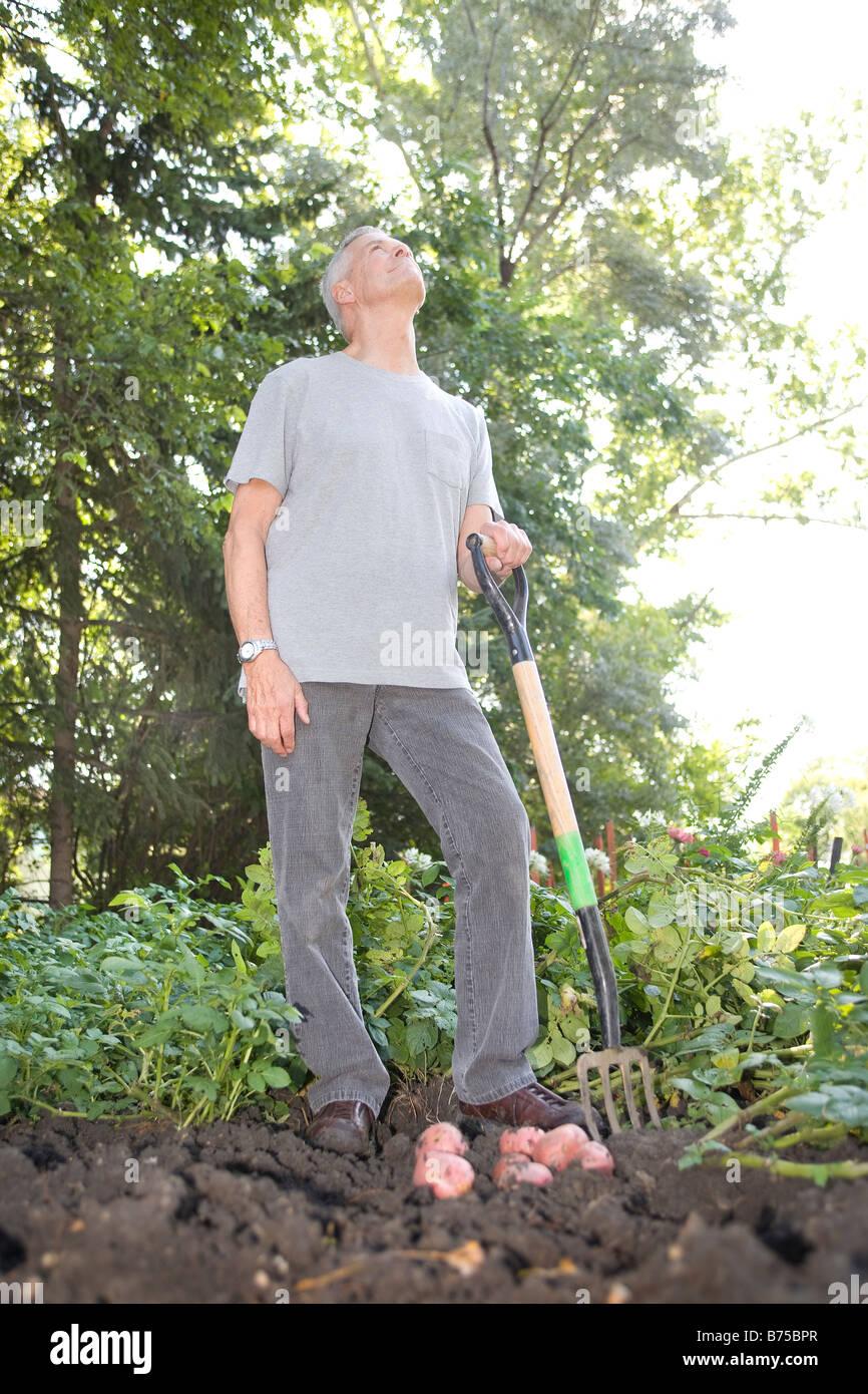 Senior man digging potatoes in garden looks upward, Winnipeg, Canada - Stock Image