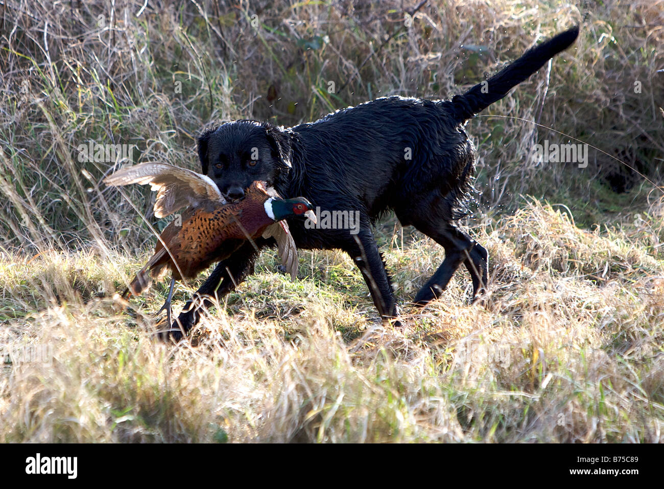 A black Labrador retrieves a Pheasant during a game shoot. - Stock Image