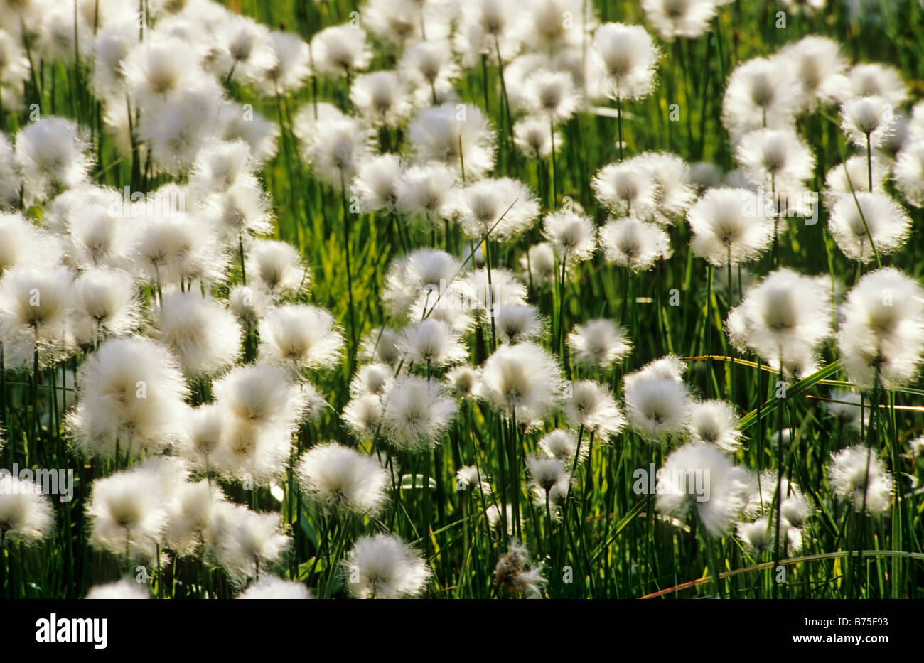 cotton grass in lapland sweden - Stock Image