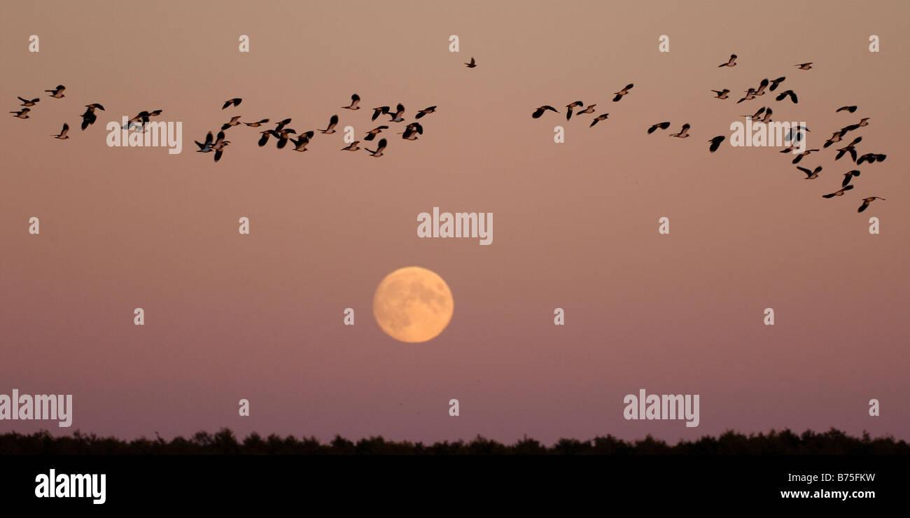 Northern Lapwing peewit plover flying at full moon Kiebitze vor dem Vollmond Vanellus vanellus - Stock Image