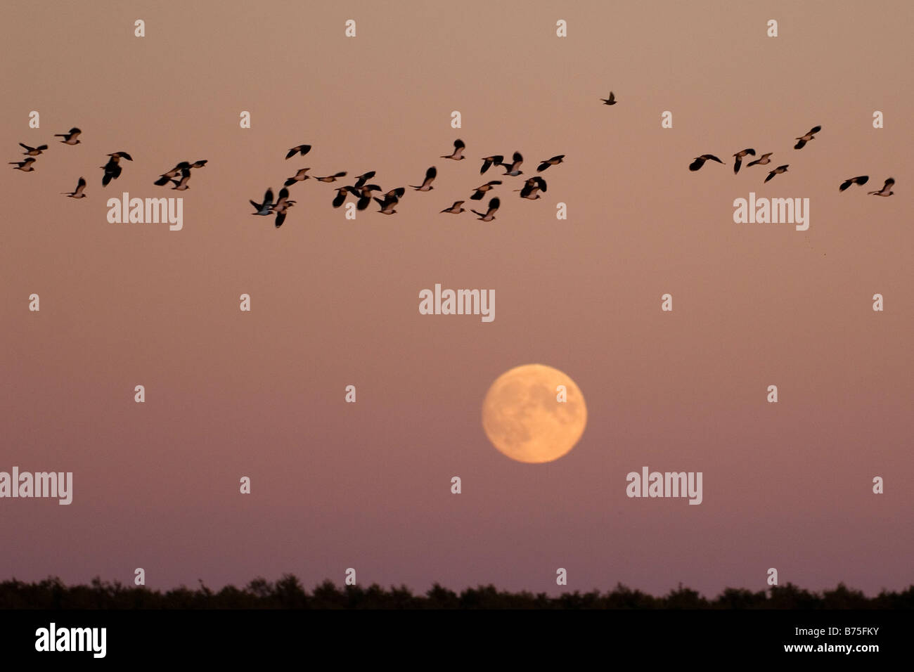Northern Lapwing peewit plover flying at full moon Kiebitze vor dem Vollmond Vanellus vanellus Stock Photo