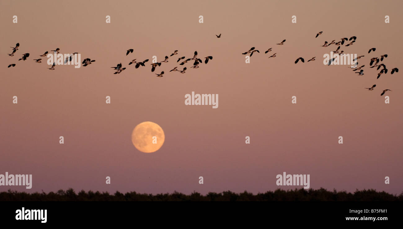 bird migration lapwings at the full moon in the evening - Stock Image