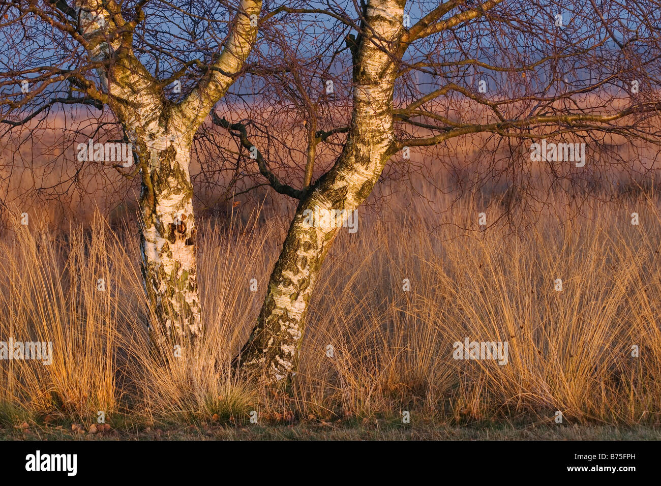 birchs in the moor Stock Photo