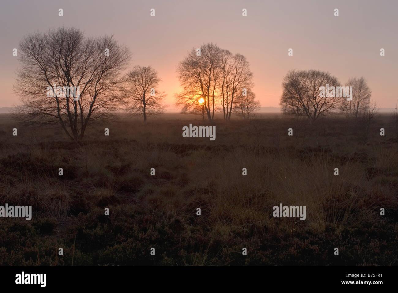 birchs in the sunset Stock Photo