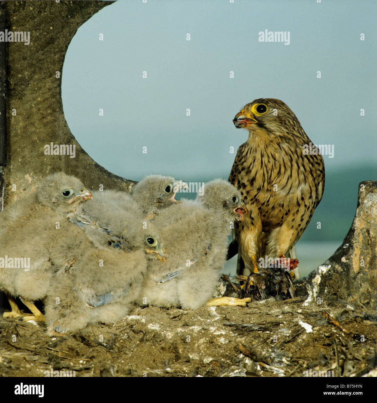 Common Kestrel nest chicks Falco tinnunculus raptor bird of prey aerie European Kestrel Eurasian Kestrel Old World Stock Photo
