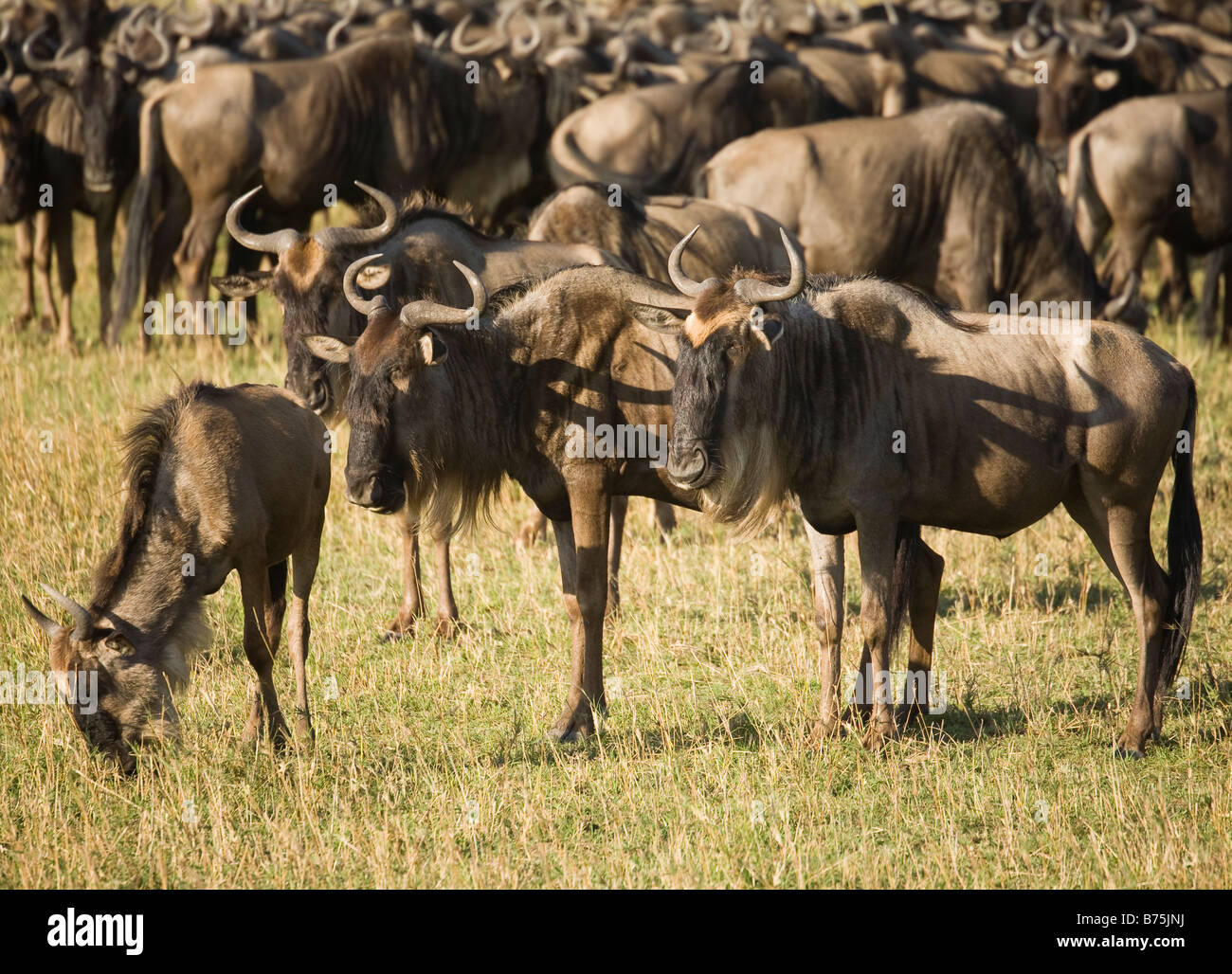 A Herd of Wildebeest grazing on the plains of the Masai Mara in Kenya Stock Photo