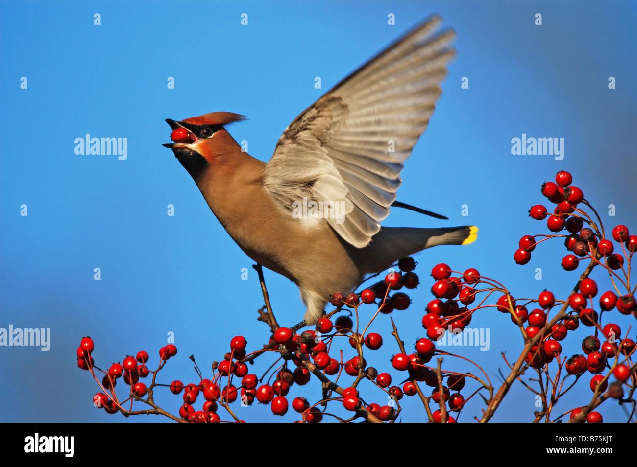 Bombycilla garrulus Bohemian Waxwing passerine bird Germany Baden Wuerttemberg - Stock Image