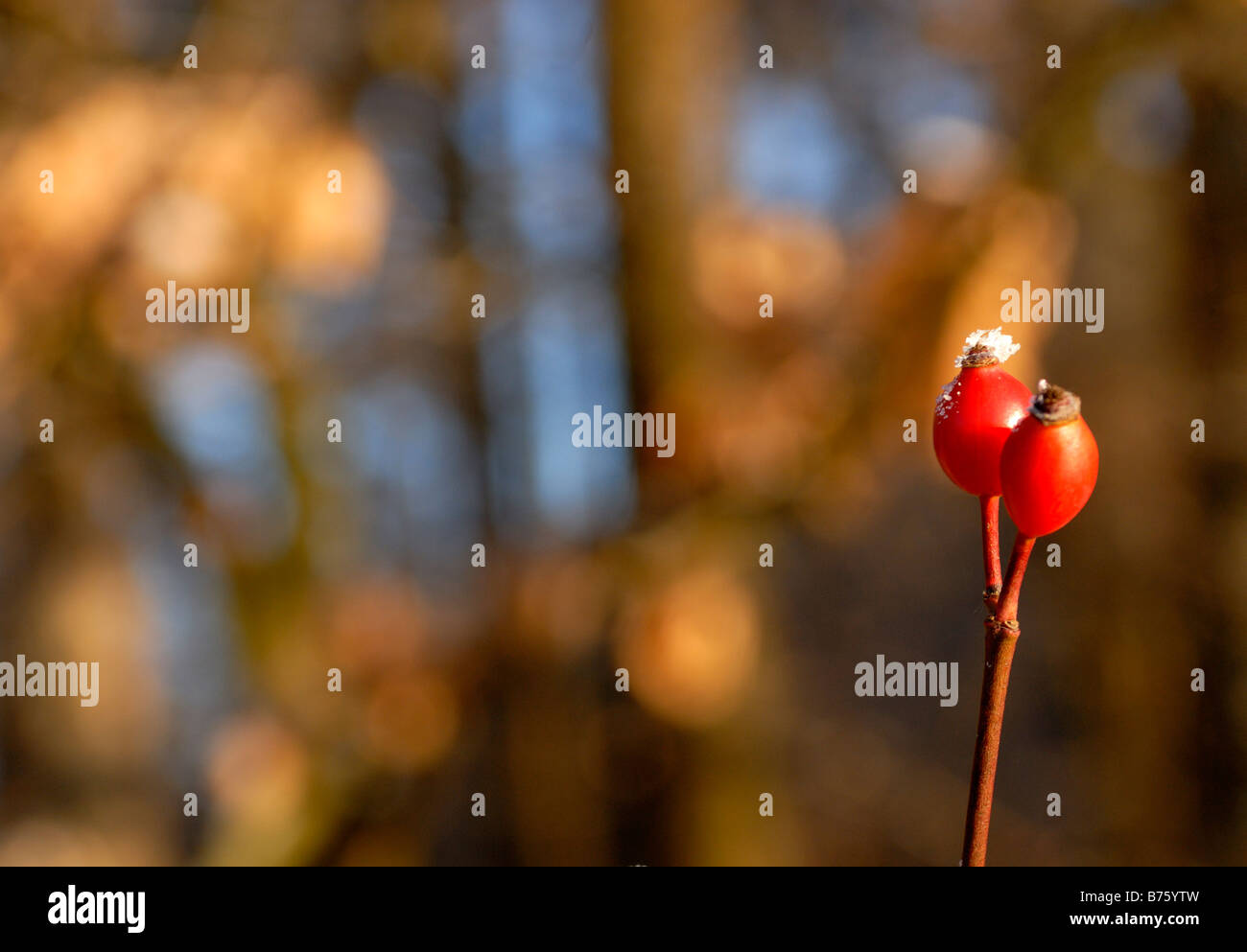 Dog Rose autumn Europe - Stock Image