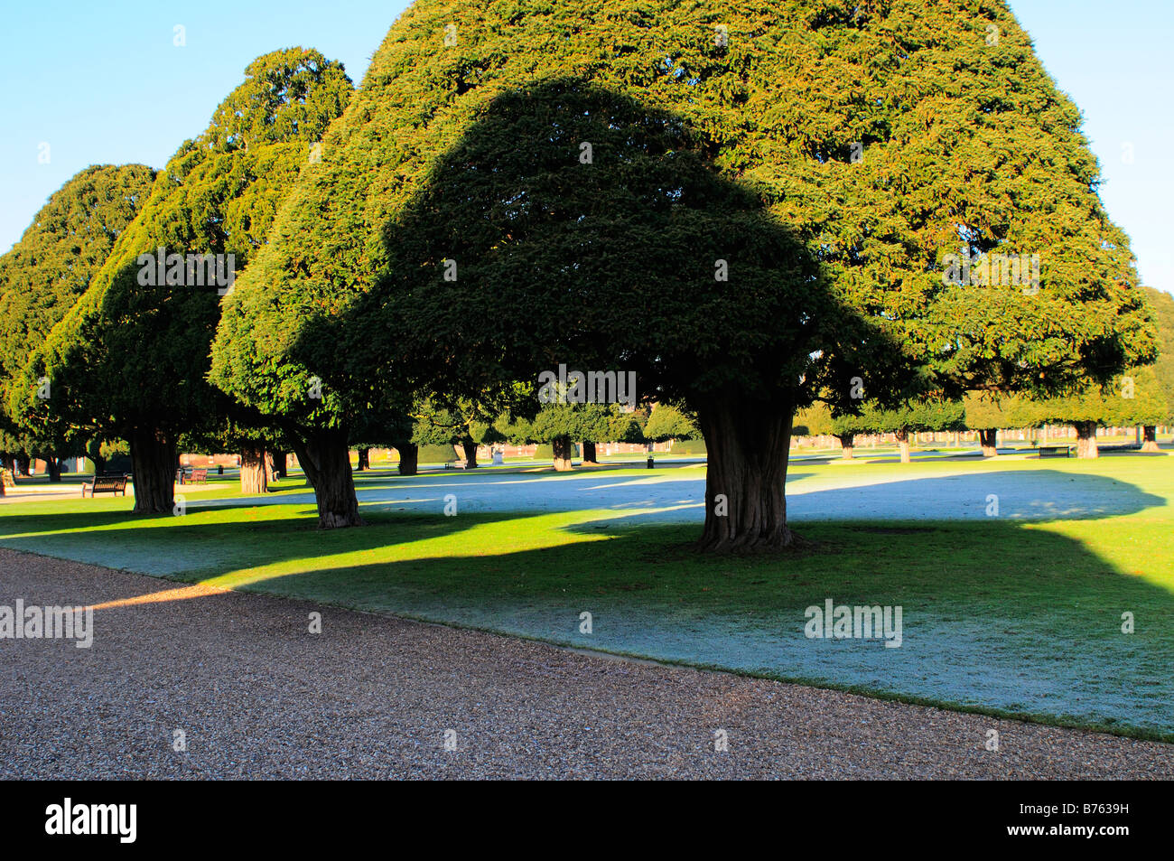 Yew trees in Hampton Court Palace grounds Surrey - Stock Image
