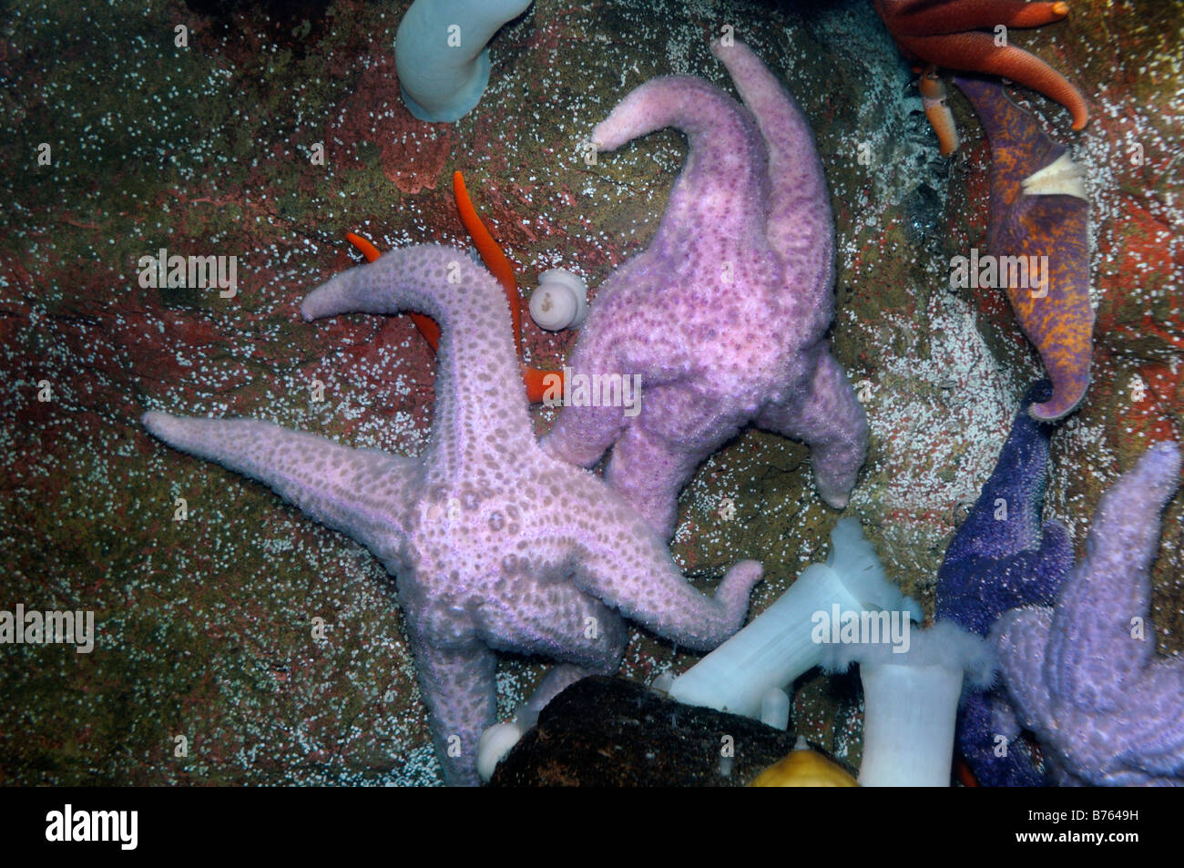 Giant pink seastar Pisaster brevispinus captive - Stock Image