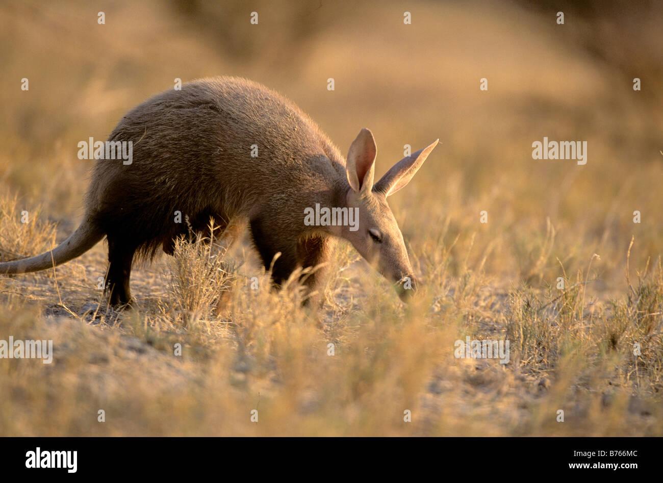 aardvark antbear anteater namibia afrika etosha np orycteropus afer nationalpark earth hog earth pig - Stock Image