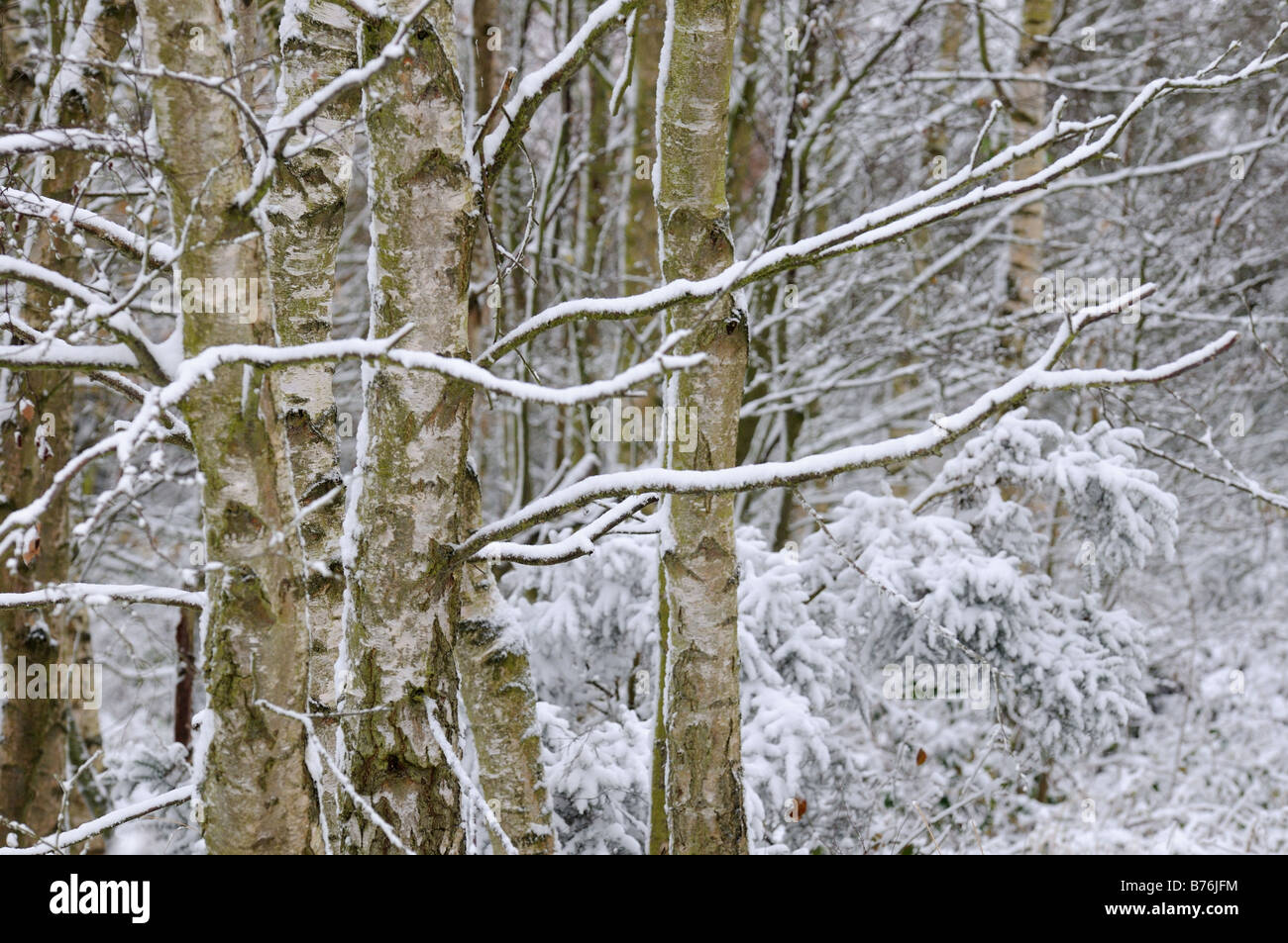 Birch trees and small conifers after snowfall Nofolk UK november - Stock Image